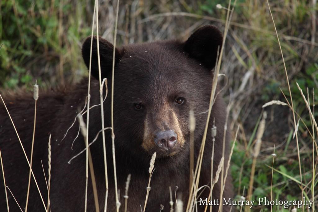 Whistler Black Bear Photography